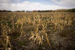 Corn Field, Kline, SC ©Forest McMullin