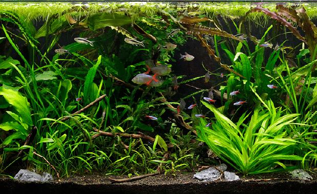 Duckweed Plants Sale