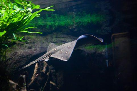 Ikan pari di akuarium