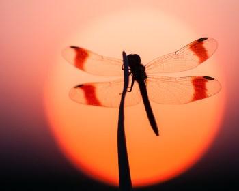 De bandheidelibel met de kenmerkende banden op de vleugels.
