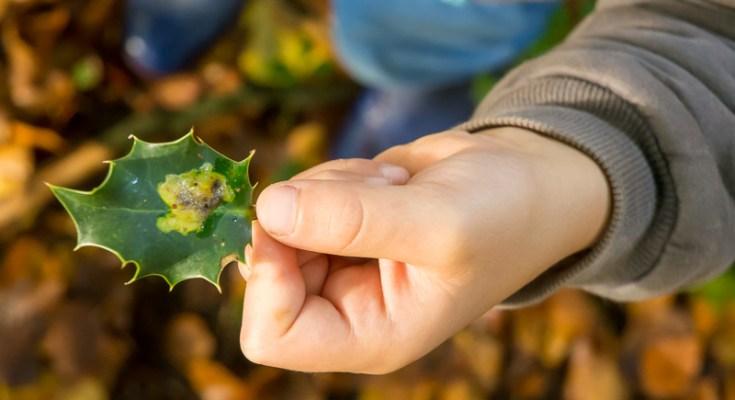 Is de blaasmijn van de hulstvlieg nu een gal of niet? Het ligt er maar aan welke definitie je hanteert.