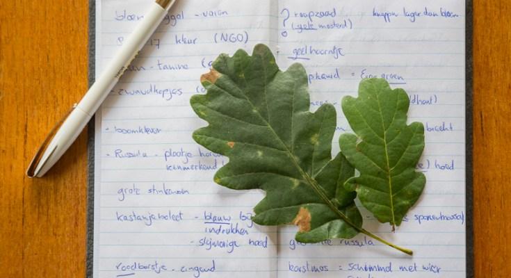 Links het blad van de wintereik met de lange steel en rechts de zomereik met de lobjes bij de aanhechting van de bladschijf.