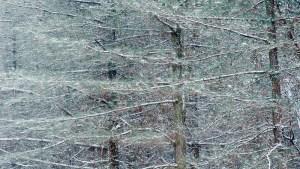 Lees meer over het artikel NGO: Naaldbomen determineren