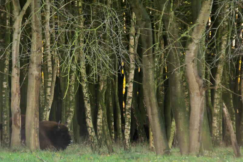 De wisenten trokken zich niets aan van onze aanwezigheid en gingen rustig in de bosrand liggen herkauwen.