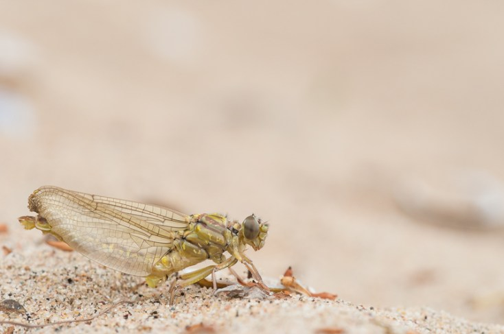 3: De zojuist uitgeslopen libel kan nog niet  vliegen. eerst moet hij zijn vleugels en achterlijf nog volpompen met lichaamsvloeistof.