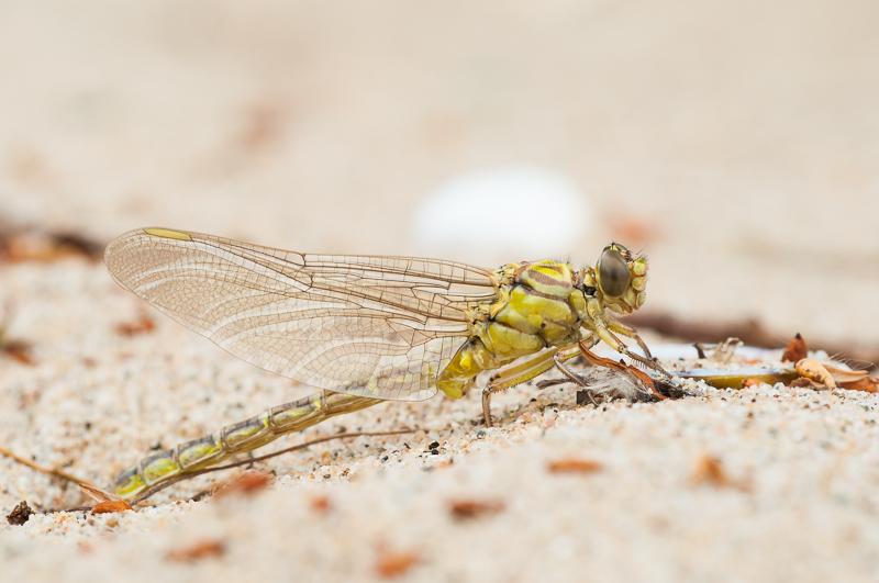 4: Hier zijn de vleugels en het achterlijf helemaal volgepompt met lichaamsvloeistof.
