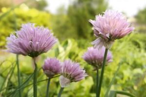 Read more about the article De bloemen van bieslook eten