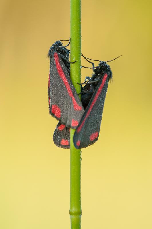 De volwassen sint-jacobsvlinders gebruiken de kleuren zwart en rood als waarschuwingskleuren.