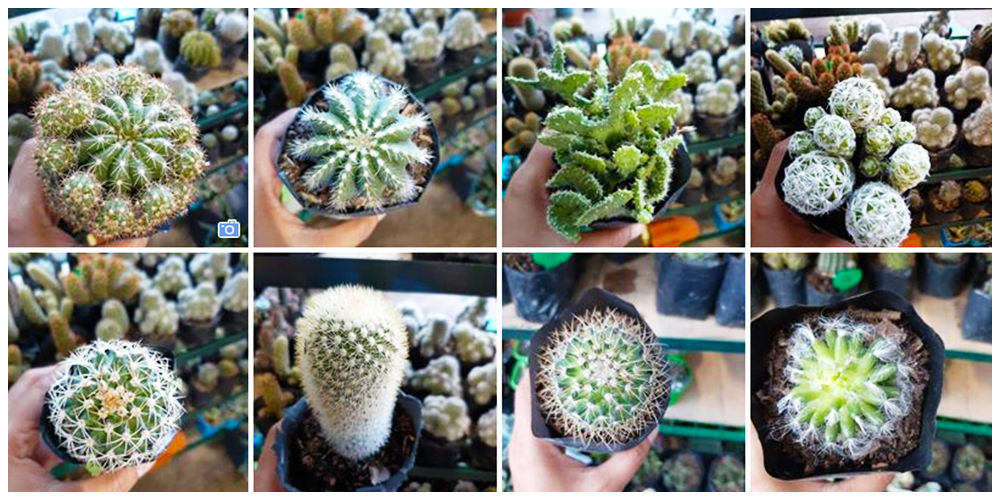 Hanah Place Cactus and Succulent for Sale - Cactus, Succulents and Indoor Plants in Bulacan