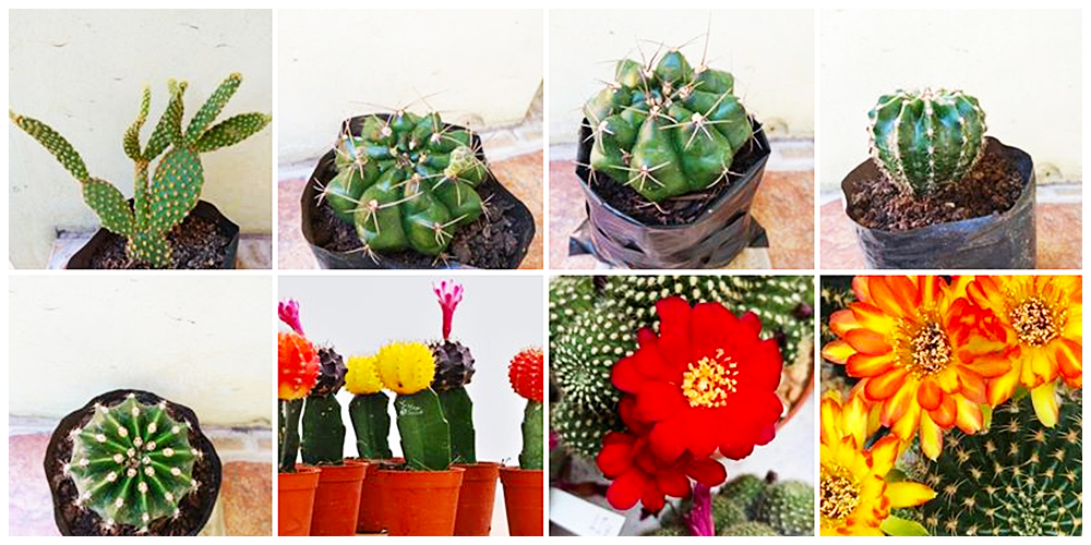 Little Leaf - Cactus, Succulents and Indoor Plants in Bulacan