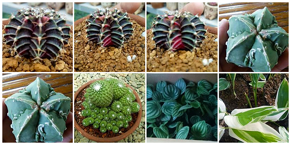 Chubbylit's CNS and Blooms - Cactus, Succulents and Indoor Plants in Bulacan