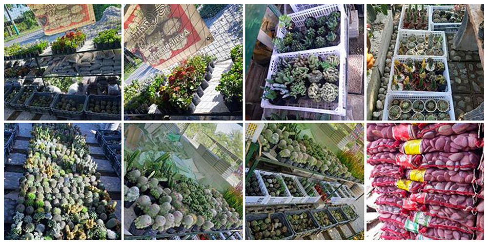 Dx.Landscaping and Concrete Works - Cactus, Succulents and Indoor Plants in Bulacan