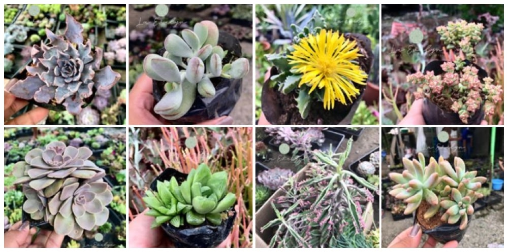 Where can I buy Cactus, Succulents and Indoor Plants in Bulacan? 2