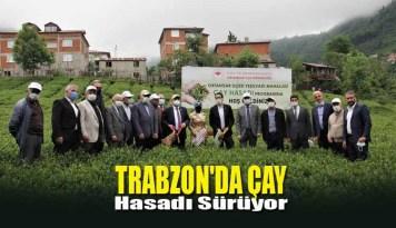 Trabzon'da Çay Hasadı Sürüyor