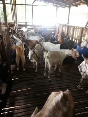 KAMBING-kambing yang diternak.