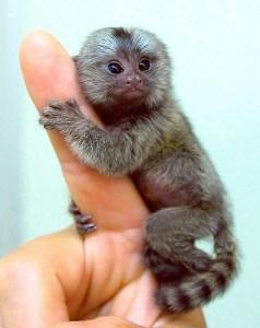 Маймунката мармозетка (callithrix pygmaea) тежи едва 15 грама при раждането си. Обикновено възрастния екземпляр достига тегло от 119 грама.Средната им дължина е 136 милиметра без опашката,която обикновено е по-дълга от самото тяло. Въпреки своя размер,те могат да прескачат до 5метра във въздуха. Обитават горното поречие на Амазонка, горите на Перу, Колумбия, Боливия и Бразилия.