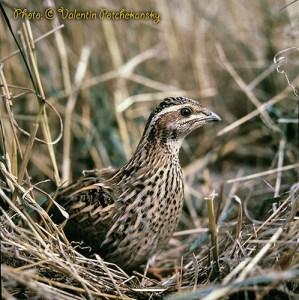 Пъдпъдъкът (Coturnix coturnix) е най-дребната и е единствената прелетна птица в разред Кокошеви. Преди есенното затлъстяване теглото му е стотина грама. През септември, подготвяйки се за прелет, натрупва подкожна и вътрешна мазнина, прикоето теглото му нараства почти с 50%. Тази натрупана мазнина играе ролята на енергиен резервоар за дългия прелет през морета и планини, подобно на гърбицата при камилата и на курдюка (тлъстата опашка) при азиатските породи овце. В оперението на пъдпъдъка са събрани всички багри на лятото - от яркожълтото на пожънатите ниви до сиво-кафявото на спечената от слънцето земя. Обитава ливади, посеви и други. Откриват се по гръмкото пеене, откъдето носят и името си. Обикновено пъдпъдъците са смятани за ценен ловен обект. При излитането си свирва и ви сигнализrра, даже и да сте rъpбом към него. На пъдпъдък се стреля с дребни сачми - най-подходящи са номерата 10-13. Предпочитат се леки пушки с къси цеви и слаби шокове. Пъдпъдъците са деликатесен дивеч. Имат сочно и нежно месо, обилна мазнина и висок рандеман. Приготвени от майстор, те са радост за гастрономите. Начините за приготвяне са най-разнообразни: задушени, печени, в сини домати, на скара, пържени и др. Яйцата от пъдпъдък пък засилват потентността на мъжа и са уникални със съдържанието си на полезни съставки.