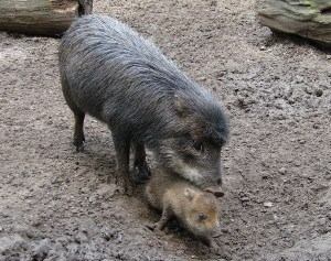 Свиня-майка с малкото си чедо. Животните от породата ПЕКАРИ (pecari) са непреживни чифтокопитни, които представляват американски еквивалент на свинете, но са по-дребни от тях. Живеят на стада, наброяващи понякога стотина животни.