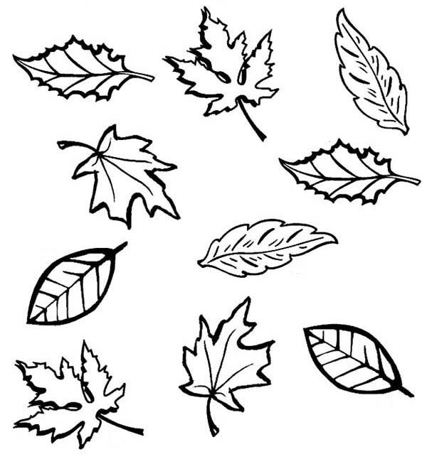 Coloring Fall Leaves Clip Art Sketch Coloring Page