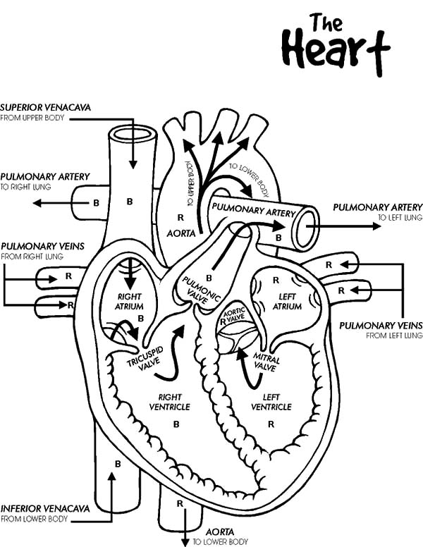 Free Heart Diagram Coloring Page Printable