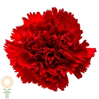 carnations red