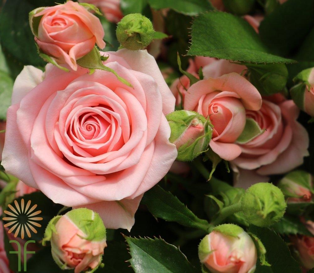Buy wholesale fresh and stunning light pink garden spray roses mightylinksfo