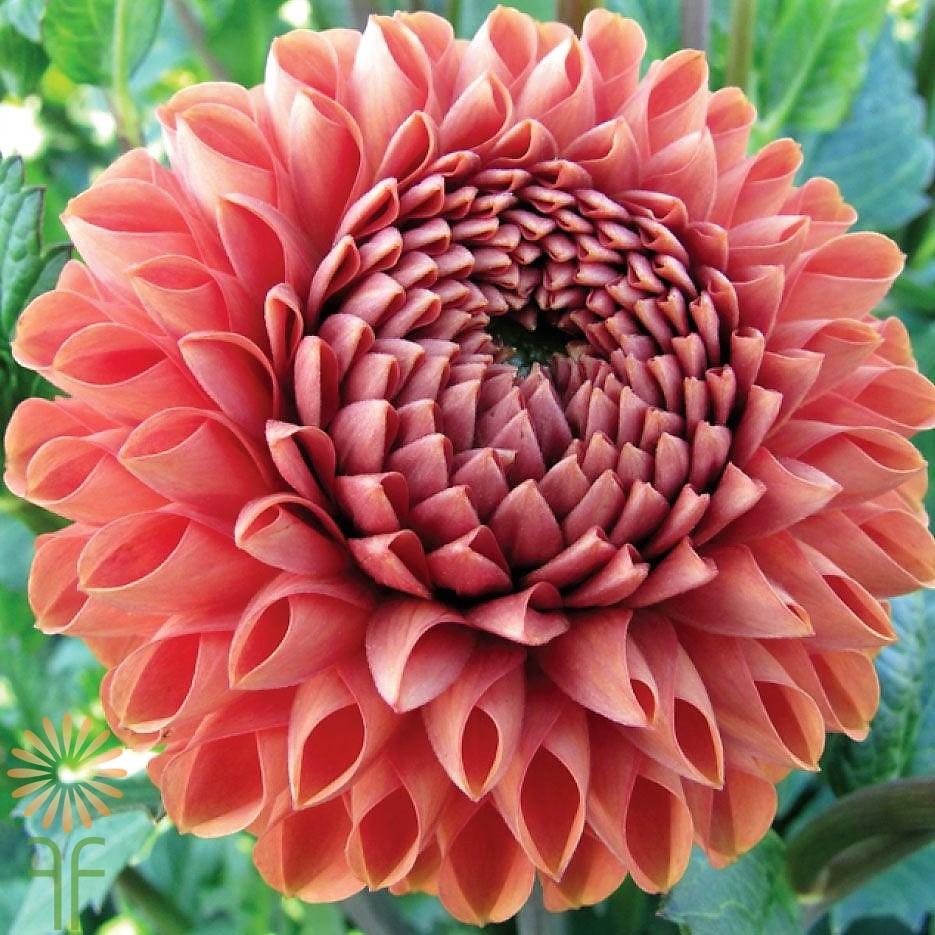 Buy fresh beautiful bronze dahlia flowers online today izmirmasajfo