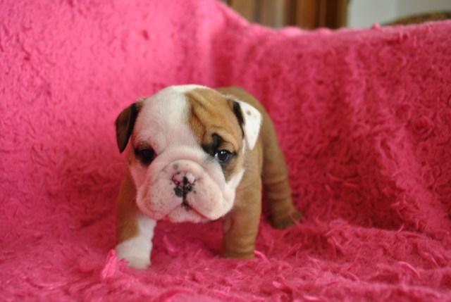 akc registered ohio english bulldog puppies breeders » blog archive