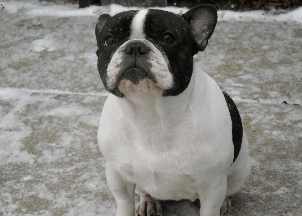 French Bulldog Rescue Archives - French Bulldogs by Bullmarket