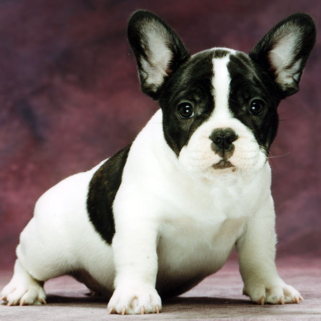Dog Breeding It S Where The Money Is French Bulldogs By Bullmarket