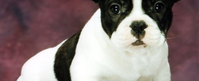 Bullmarket French Bulldog Breeders