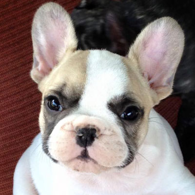 Black Masked Fawn Pied French Bulldog Puppy