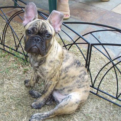 Reverse Brindle French Bulldog