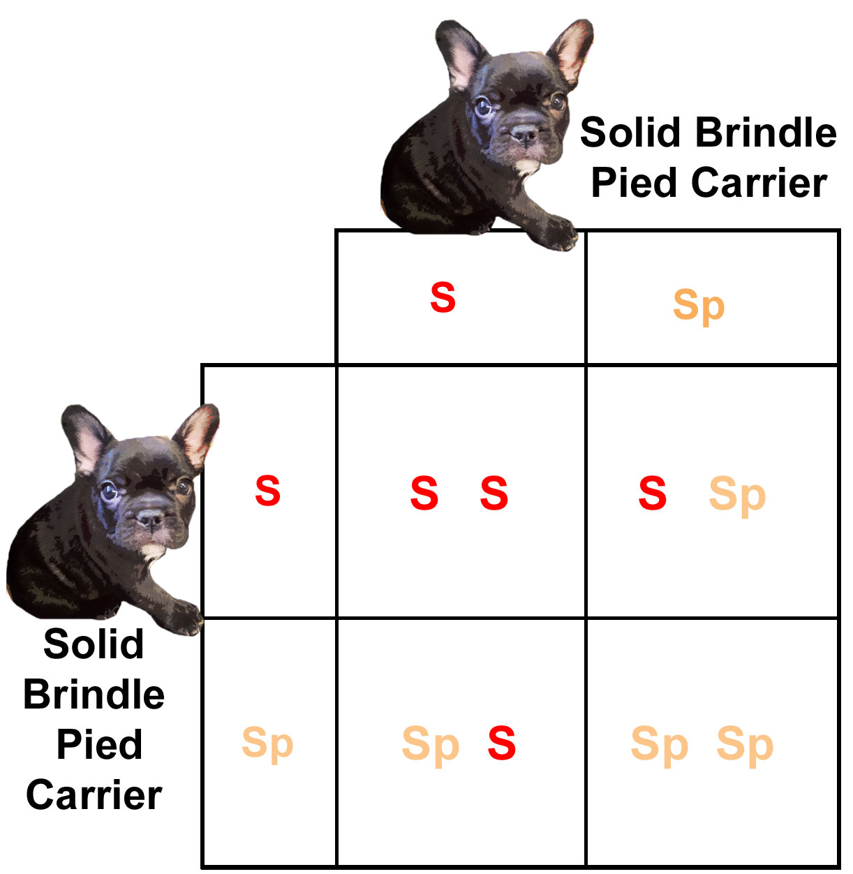 Pied french bulldogs coat color inheritance french bulldogs by predicted outcome per offspring nvjuhfo Images