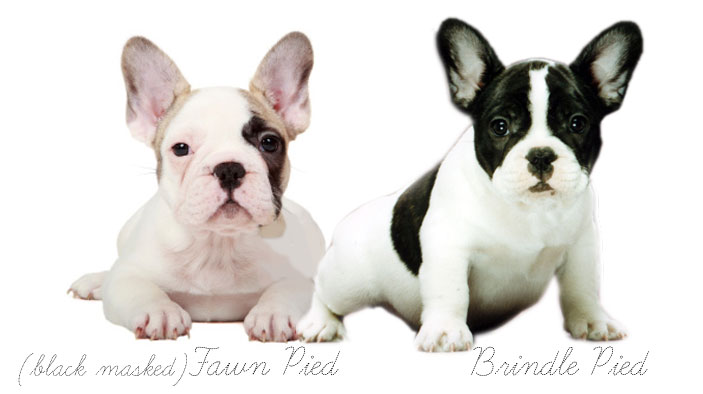 Fawn and Brindle Pied French Bulldogs