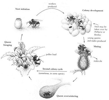 The yearly lifecycle of the bumblebee colony