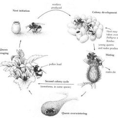 Bumble Bee Diagram Ac Solid State Relay Wiring The Yearly Lifecycle Of Bumblebee Colony