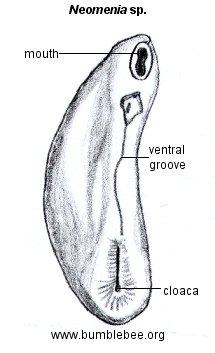 Polyplacophora (chitons), Scaphopoda (tusk shells