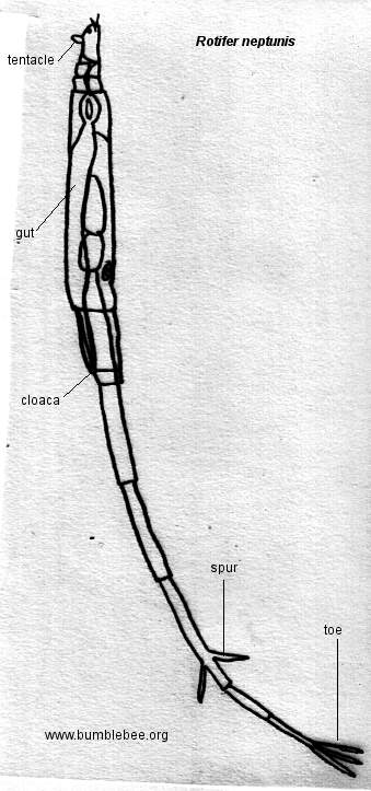 rotifer diagram labeled fishbone lab values normal pictures of rock cafe
