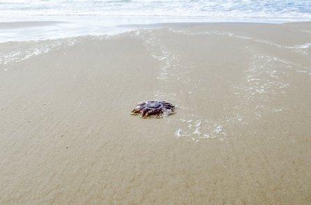 dayz-strand-krab