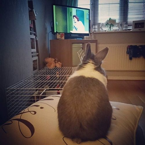 A picture of my rabbit watching TV to entertain himself