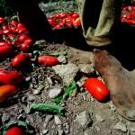 Pomodori e petrolio