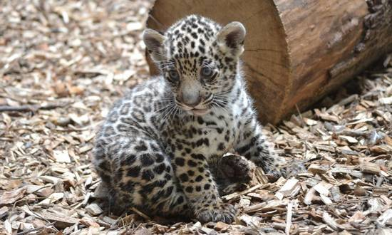 giaguaro-Wakara_(foto_zoobratislava.sk)
