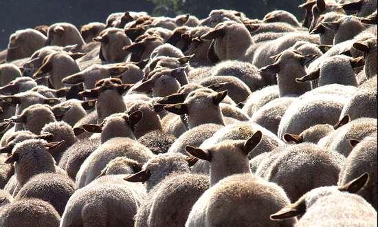 pecore-gregge_(rauter25 9739542721 BY-NC)