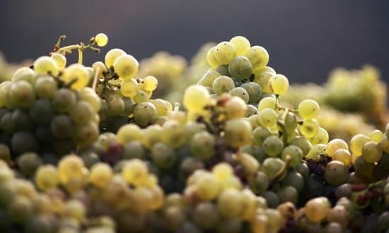 vendemm-uva-vino_(schuetz-mediendesign@pixab)