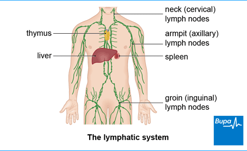 where are my lymph nodes diagram 7 pin blade trailer plug wiring node removal lymphadenectomy health information bupa uk an image showing a of the lymphatic system