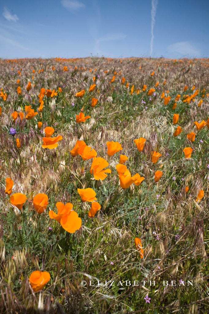 040310 Poppy Fields 13
