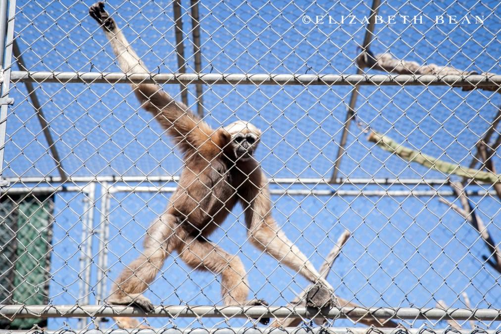 071215 Gibbon Center 12