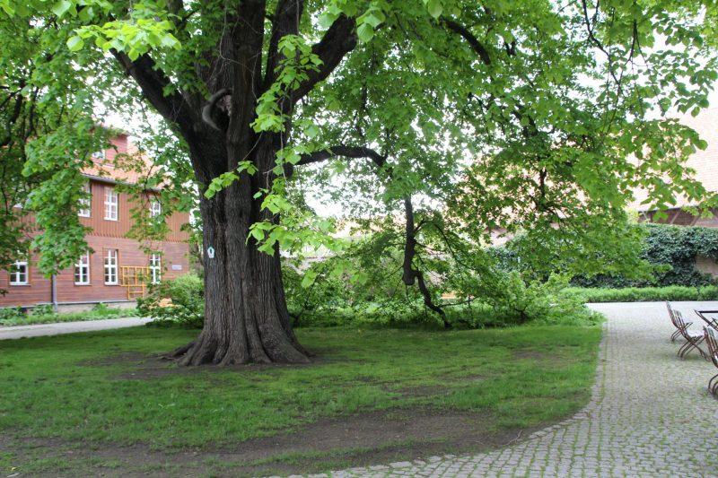 alte Linde Kloster Drübeck