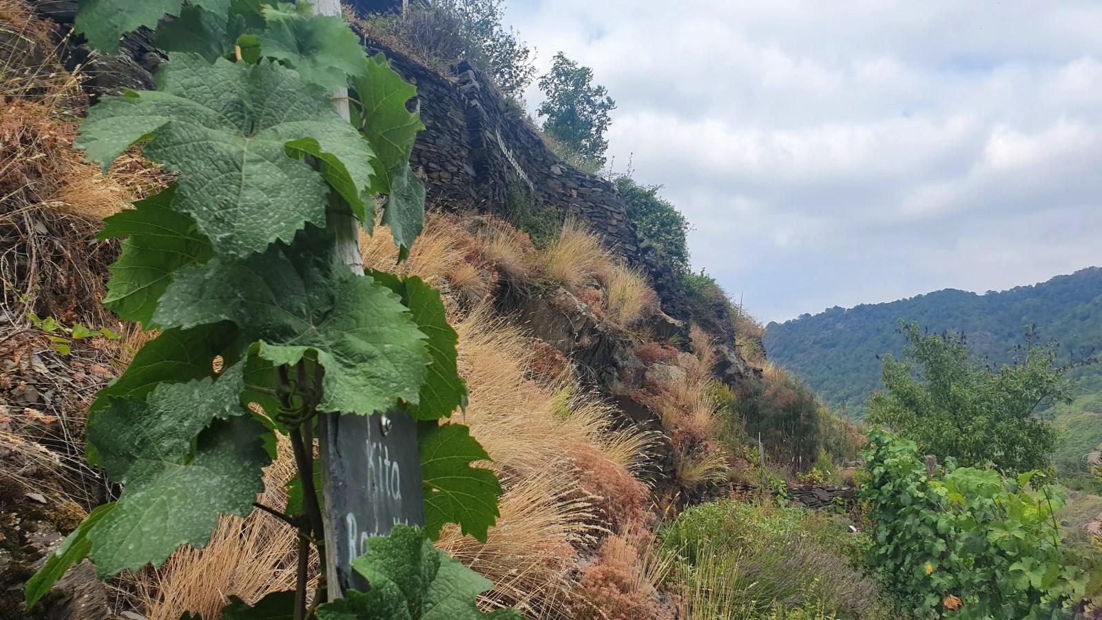 Lavendel, Rosen und Kräuter in den Weinbergen sind nicht nur schön, sondern auch nützlich.